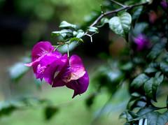pokok bunga depan rumah aku (semiclicks) Tags: 50mm floraandfauna