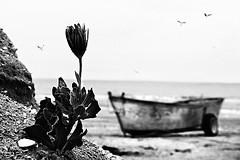 Ho attraversato il mare delle mie emozioni (Effe.Effe) Tags: sea blackandwhite bw flower beach boat blackwhite seaside barca mare seagull bn emotions fiore spiaggia bianconero gabbiani senigallia biancoenero hoattraversatoilmaredellemieemozioni quellecheresistetteroabbracciateperconcludersiquialogorarsipianoscricchiolandosenzapiùrumore hoattraversatoilmaredellemieemozionitrasportandoilcaricodeltempoimieisolchiprofondiscavatiabitatidallasolitudinedallaricercadiunarivadiunritornoilmioriposonellaterraacuilasciolepartimiglioridelmiocorpoquelle