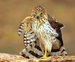 Cooper's Hawk Discovers Me (ozoni11) Tags: bird nature birds animal animals nikon searchthebest hawk raptor prey raptors hawks coopershawk columbiamaryland d300 blueribbonwinner wildelake supershot michaeloberman mywinners platinumphoto anawesomeshot coopershawks ozoni11 citrit