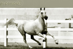 To Dr. AbdUlRahman Al-Shaheen (YOUSEF AL-OBAIDLY) Tags: horse      aplusphoto platinumheartaward flickrestrellas quarzoespecial  teacheryousef
