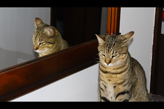 The Evil Twin Cat from the Mirror (LinoPhilippe) Tags: chile santiago cats cat nikon gatos gato nikkor d60 1855mmf3556gvr