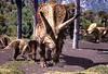 Torosaurus