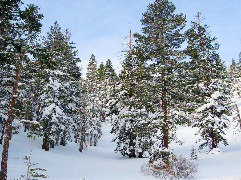 Mount Rose Trees