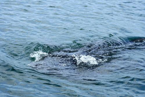Pulao Bajo whale shark
