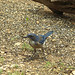 Mountain Bluebird- Pedernales Falls