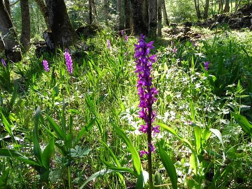 Orchis mascula=Orchis mâle - Sentier Botanique Marthod 021