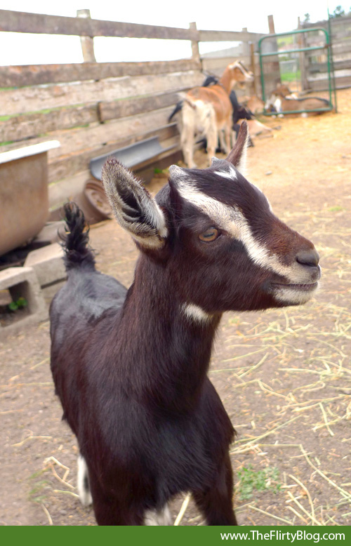 kid-goat-baby-harley-farms-pescadero