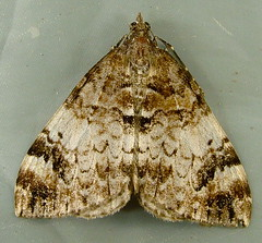 Dysstroma sp. (willapalens) Tags: moth rhododendron dna wa bold willapa 7184 pacificcounty dysstroma sobria 10spotted