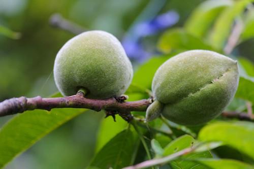 Peach 'Elberta'