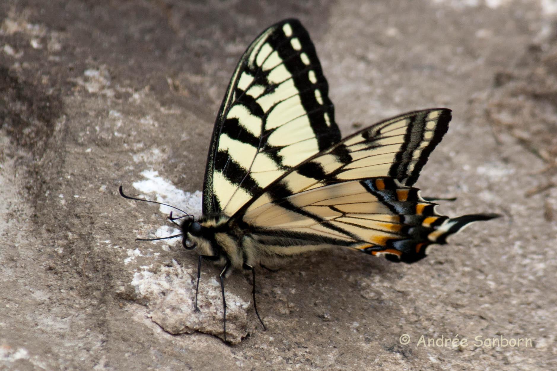 Eastern Tiger Swallowtail (Papilio glaucus)-5.jpg