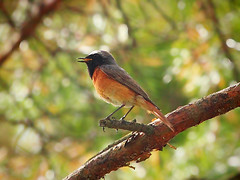 Gartenrotschwanz / Common Redstart (Phoenicurus phoenicurus) (Sexecutioner) Tags: bird nature birds animal animals canon germany deutschland tiere wildlife natur vgel mainz tier vogel rheinlandpfalz roodstaart 2011 commonredstart phoenicurusphoenicurus gartenrotschwanz lepplintu gekraagderoodstaart colirrojoreal rabirruivodetestabranca rougequeuefrontblanc rdstjert cotxacuaroja grosersand  rdstjrt kertirozsdafark coaroja hzirozsdafark codirossocomune copyrightsexecutioner    rehekzahradn clbitpllid  garaskotta  aedlepalind rougequeuedemuraille crvenrepkakovai umskacrvenperka  rudaisericki pleszkazwyczajna ltochvosthrny ltochvostlesn pogorelek obinacrvenorepka bahekzlkuyruu     europeserooistert paprastojiraudonuodege      motacillaphoenicurus  eurasianredstart europeanredstart whitefrontedredstart