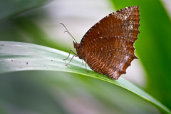 Common Palmfly  (Sharleen Chao) Tags: color macro nature canon butterfly 100mm biology     satyrinae elymniashypermnestra   canoneos550d