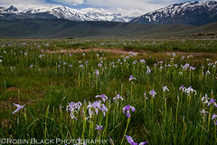 Bridgeport Irises (Robin Black Photography) Tags: california flowers blue mountains green beautiful landscape spring view purple meadow best twinpeaks wildflowers matterhorn twinlakes bridgeport pastoral sierranevada hwy395 irises nationalgeographic ecosystem easternsierras highway395 sawtoothrange singhray alkalimeadow rangeoflight sierracrest canon5dmarkii robinblackphotography photographernatures ngcoutdoor