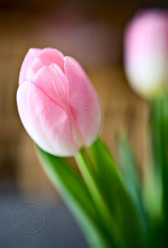 tulips5-wm