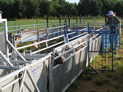 Handling system for sheep and goats