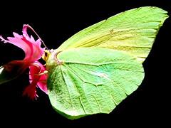 * (studiolof) Tags: natura farfalla rosarioloforti fotoloforti