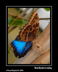 Blue Morpho's mating.jpg (Tony Margiocchi (Snapperz)) Tags: blue nature butterfly insect nikon natural bedfordshire mating bluemorpho minibeasts nikond200 supershot abigfave anawesomeshot impressedbeauty aplusphoto