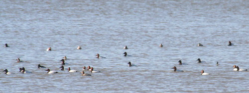 canvasbacks 2