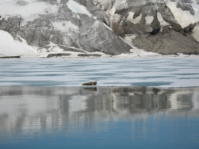Seal at Esmark Glacier