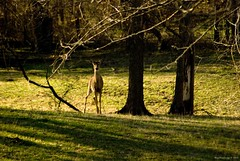 In Sunset's Shadows (raisinsawdust - (aka: tennphoto)) Tags: trees sunset evening nikon shadows tennessee branches sunny doe deer stare trunk backlit grazing blueribbonwinner d80 nikond80 flickrenvy citrit theunforgettablepictures onlythebestare