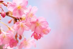 Sakura Sky (Yoichi_) Tags: pink flowers blue sky japan geotagged nikon  cherryblossom sakura  matsuda d80   geo:lat=353512983 geo:lon=1391374953