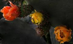 Picos y Petalos (Majocesa) Tags: cactus españa flower fruit spain jill fuerteventura flor pico spike canaryislands islascanarias tuno tunera elroque colorphotoaward a3b majocesa