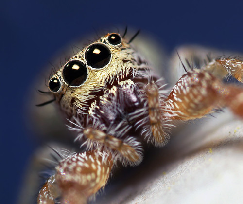 Jumping Spider (Hentzia) by Thomas Shahan.
