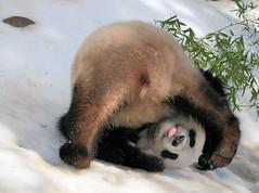 Hilarious Su Lin (kjdrill) Tags: china california bear usa snow playing animal tongue giant zoo cub funny panda sandiego bears down fv10 lmao upside pandas endangeredspecies sulin abigfave 1000faves lmaoanimalphotoaward 9548a fcawinner goldstaraward trueessence flickrlovers