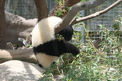 Just hanging out (kjdrill) Tags: china california bear usa baby animal giant mom zoo cub panda sandiego baiyun offspring pandas endangeredspecies 1676 zhenzhen
