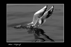 003 (m_yousefi) Tags: sea bird animal bushehr canon30d