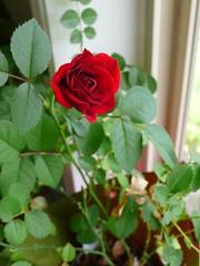我的玫瑰開花了