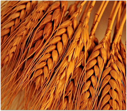 wheat kernel grain texture food closeup macro dried... (Photo: Scandblue on Flickr)