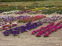 Blumenplantage (Blue   Petunia) Tags: spring blumen münster münsterland weg frühling blüten plantage petunien fleissige lieschen jun08 liesen kaldenhofer hauskaldenhof