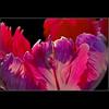 "TULIP (fabiogis50) Tags: pink flowers light flower macro closeup canon searchthebest vivid petal harmony tulip sensational fiori mb soe amazingcolors polaris doubledragon naturesfinest fpc beautysecret beautifulmacro imagepoetry grrreat flowerotica flickrsbest monkeystyle bej passionphotography mywinners worldbest flowersgalore infinestyle lustauffotos diamondclassphotographer top20red citrit empyreanflowers theboldflower envyofflickr excellentphotographerawards freenature macroaward excellenceinflowerotica overtheexcellence goldsealofquality macromarvels betterthangood proudshopper theperfectphotographer goldstaraward macroflowerlovers life~asiseeit 4mazingorgeoushotsoflowers multimegashot ""ourmasterpieces multimegastar tbfsgallery detailsdomatter awesomeblossoms obq favouritecapture theeliteofflickrsawesomeblossoms atqueartificia alwaysexc platinumgolddoubledragonawards elshowdelmacro ""mallmixstaraward"" fotofanaticus cffaa somethingspec absolutegoldenmasterpiece thedantecircle allnaturesparadise"
