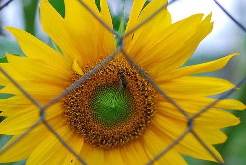 Honeybee visits the  imprisoned sun by roksoslav.