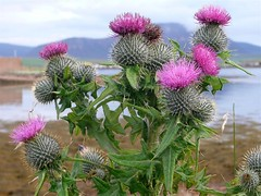 Orkney Thistles (Dennis@Stromness) Tags: uk wild fab macro nature island scotland orkney britain wildlife thistle wildflower stromness spearthistle anawesomeshot