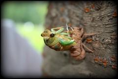 Tibicen Cicada