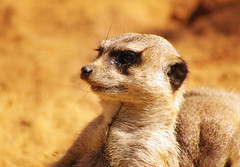 Meerkat (itchybana) Tags:
