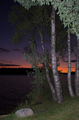 vertical_birches_0193