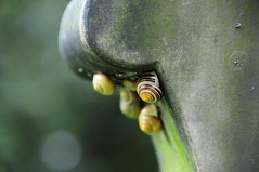 White Lipped Snails (Cepaea hortensis) on a Grave Stone, All Saints Church, Darfield, Barnsley (Steve Greaves) Tags: cemeteries nature cemetery yellow spiral countryside memorial dof bokeh stripes wildlife headstone cluster tombstone shell naturalhistory gravestone land lichen helix churchyard stripey shelter coil snails morph mollusca gettyimages mollusk barnsley mortality southyorkshire banded allsaintschurch lifeanddeath sheltering cepaeahortensis darfield whitelippedsnail bokehwhores nikond300 lensnikon18200mmf3556gifedafsvrdx brownbanding