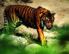 a big pussy cat (Kris Kros) Tags: photoshop photography high nikon dynamic tiger d200 range hdr kkg cs3 photomatix 1xp kkgallery