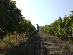 Harvesting white grapes in Quinta do Ferrado