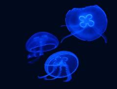 Jellyfish under neon light (Linda DV) Tags: geotagged zoo aquarium jellyfish sealife paradisio animalpark onblack flickrchallengegroup flickrchallengewinner acg1stplacewinner imageonblack lindadevolder pairidaiza thestupidasscollection themagicdonkeyrules