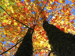 Autumn's Colors (Micky**) Tags: autumn sunlight color fall nature beautiful leaves minnesota maple micky colorful perspective mapletree magnificent wonderfulworld bratanesque wowthelightperspectivedoeswondersm nothernminnesota zlimen