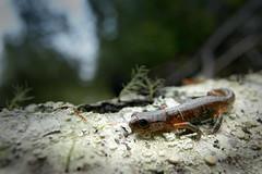 heim_wildilfe_salamander (morgan.heim) Tags: washington rainforest sensitive amphibian salamander pacificnorthwest fragile damp slimy riparian moist longbranch thenatureconservancy forestdweller ensatina tinycreature photocontesttnc08 morganheim