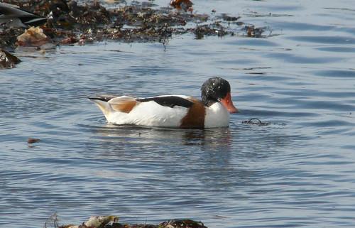 Shell duck Hunterston beach