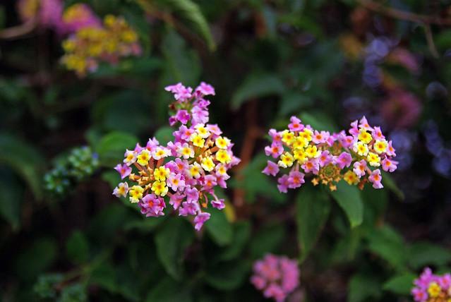 Lilac&yellow