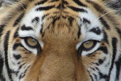 Tiger eyes - Gaia (Laramie_Coyote) Tags: nature zoo wildlife tiger bigcats zoos wildcats clevelandzoo clevelandmetroparkszoo clevelandmetroparks wildlifephotography caughtup ohiozoos worldnatureandwildlifecloseup fantasticwildlife wildlifeaward northerntrek virtualjourney printedalready avirtualjourney pogchallengewinners btglevel1 rainbowelite poglevel1