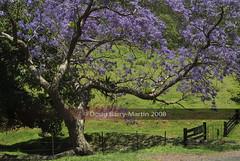 071105-0013-sample (Doug Barry-Martin) Tags: tree nature countryside jacaranda