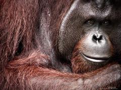 : secrets (Lakad Pilipinas) Tags: red portrait face animals closeup fur mammal zoo monkey eyes asia secret philippines orangutan ape mysterious rizal smirk southeast avilonzoo montalban luzon avilon pongopygmaeus greatapes borneanorangutan canonpowershots3is audioscience sangoyo christianlucassangoyo